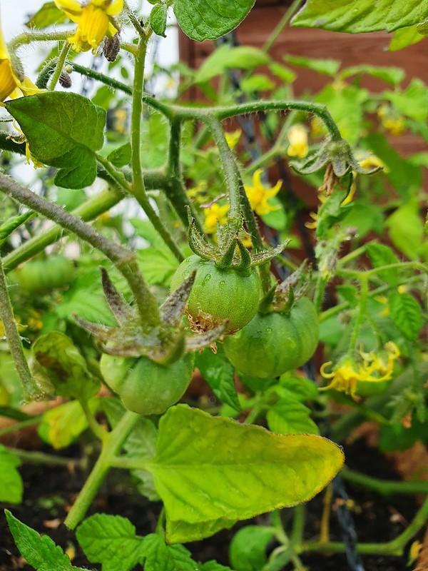 Latah tomatoes