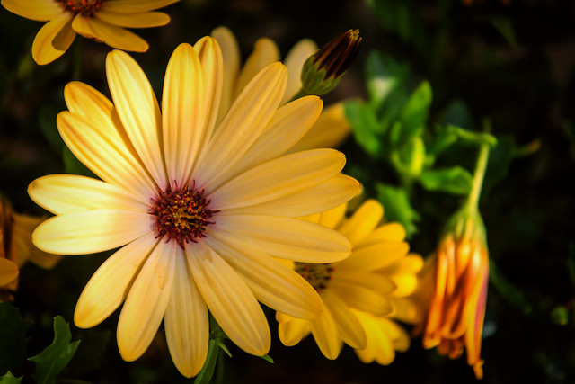 Bright zingy Osteospermums