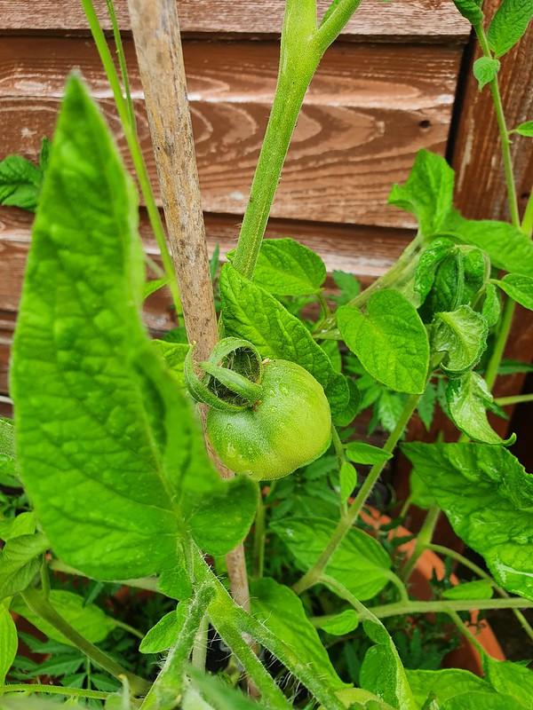 Stupice tomatoes