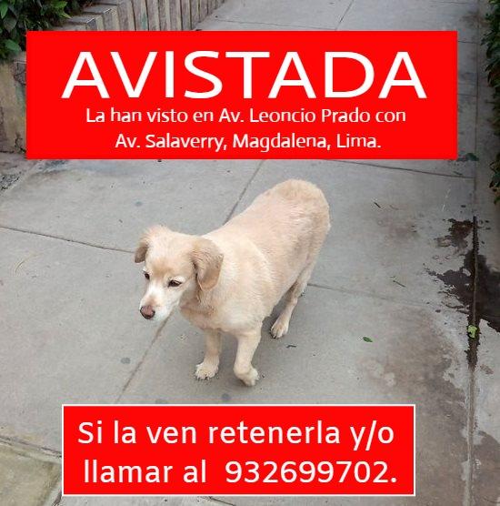 Perrita AVISTADA en Magdalena, Lima