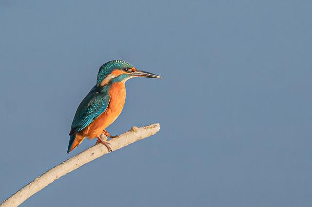 Blauet - Martin pescador comun - Common kingfisher - Martin-pêcheur d'Europe - Alcedo atthis