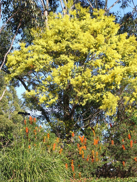 Wattle and Banksia