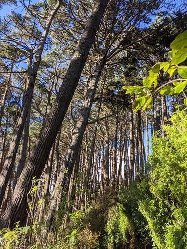 <p>A dense forest of pines on the western side of the Skyline track at Karori.</p>