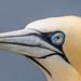 Eye of a gannet