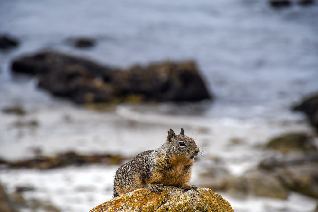 Squirrel ocean
