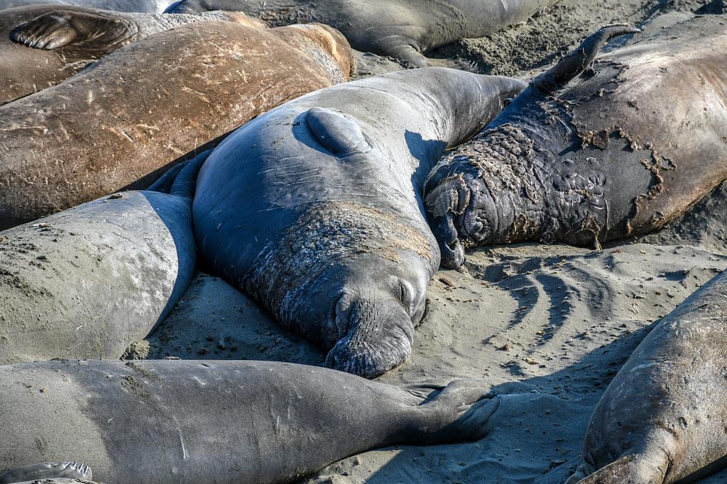 Elephant seal snooze