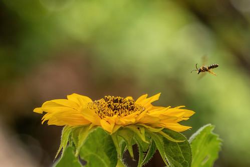Sweat Bee Approaching a Sunflower