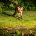 Fox cub in the garden