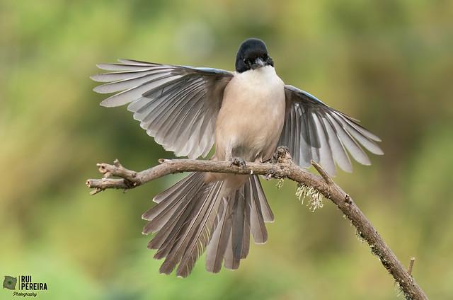 Pega azul | Cyanopica cooki | Azure winged magpie