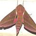 Elephant hawk-moth (Deilephila elpenor)