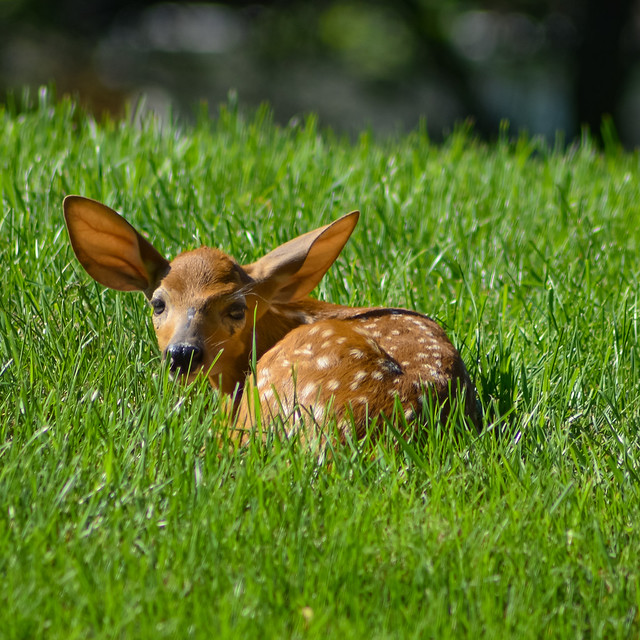 Morning Fawn in the Grass (DSC_9672-2)