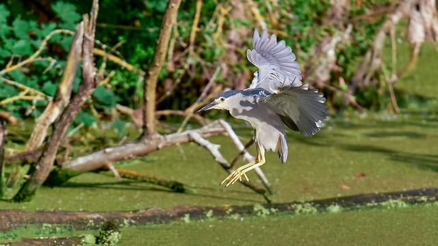 Nachtreiher - Night heron