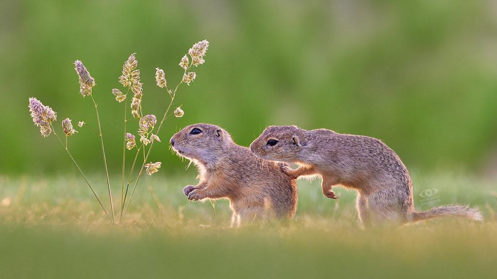 Any news for me?   ·  ·    Europäischer Ziesel (Spermophilus citellus) - European ground squirrel  ·  ·  ·   (R5B_6722)