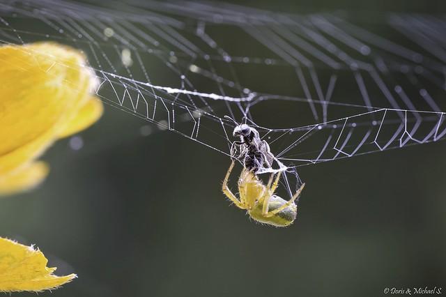 Spinne / spider