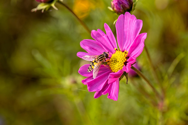 hooverfly