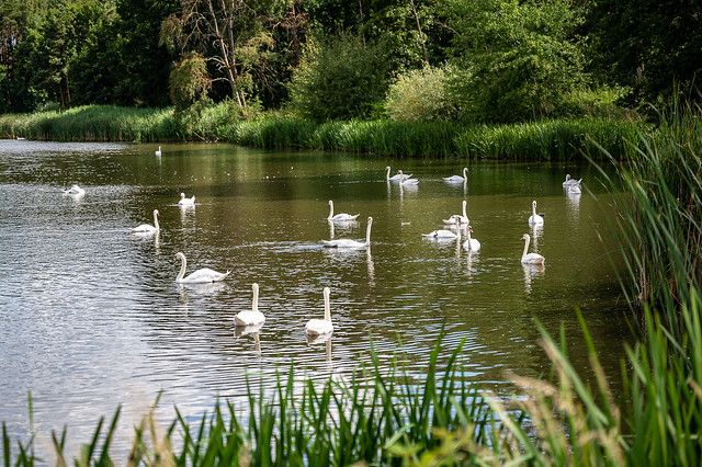 Swans at the Kleiner Bischofsweiher in Dechsendorf - 7567