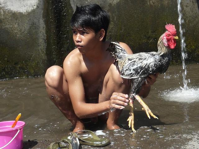 Daily bath of his fighting cock, Mandi Ayam Jagoan, Tejakula Bali