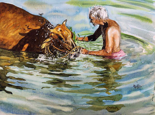 Bathing the cow.