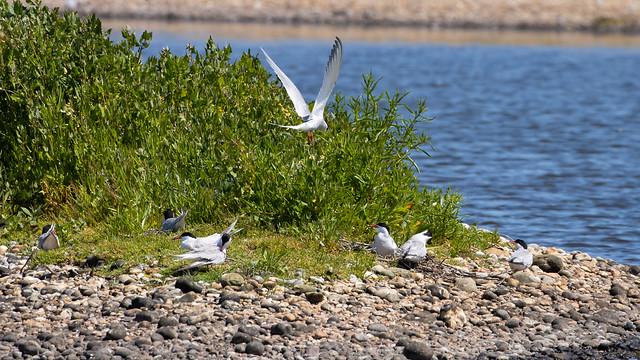 tern common