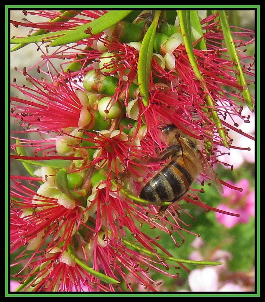 Honey Bee On Callistemon