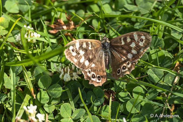Butterfly SpeckledWood 20210723 Ivinghoe