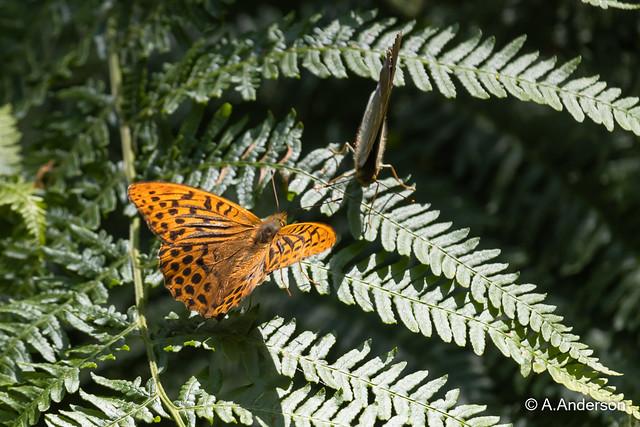 Butterfly DarkGreen Fritillary 20210723 Ivinghoe