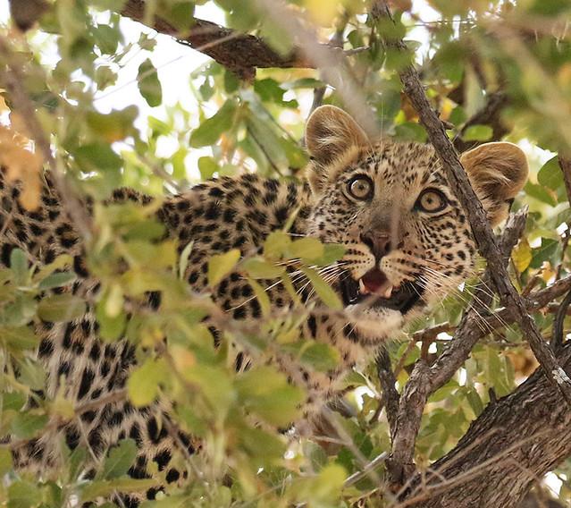 Leopard - Hwange NP - Zimbabwe
