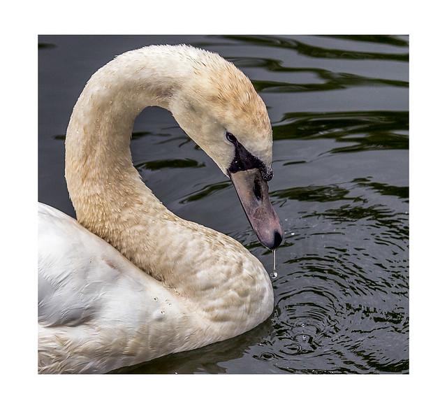 Drip Drop Swan