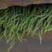 Asplenium-septentrionale subsp. septentrionale (L.)-Hoffm.