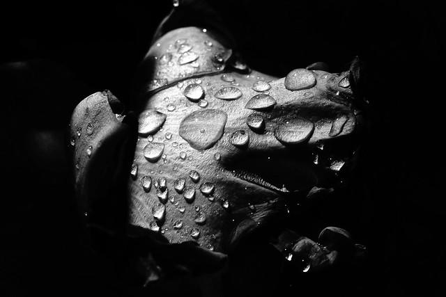 Amaryllis au jardin après la pluie -