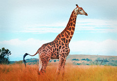 Giraffe on the African Plain