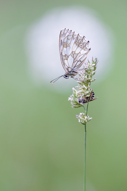 Marbled White with bee