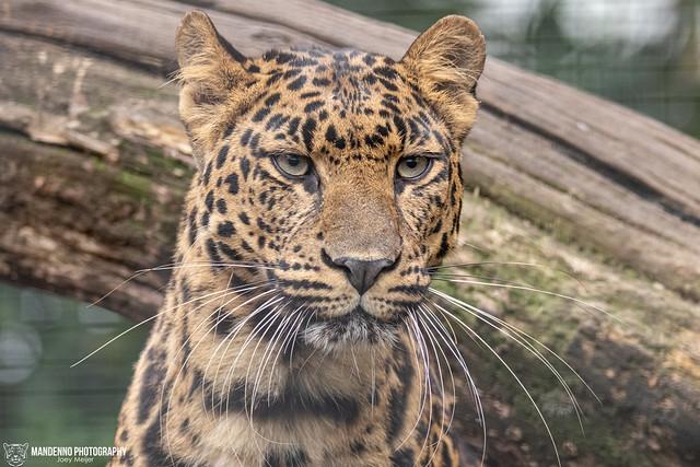 African Leopard - Pakawi Park - Belgium