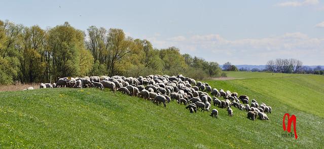 Phot.Altes.Land.Elbe.Sheep.01.041416.9755.jpg