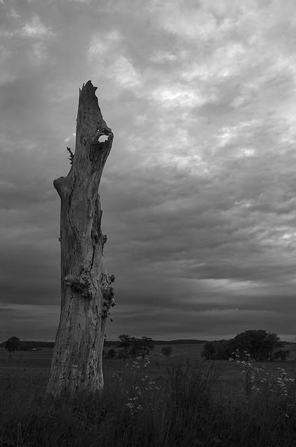 dead tree trunk S.Lanarkshire