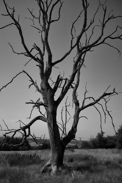 Clyde Valley tree