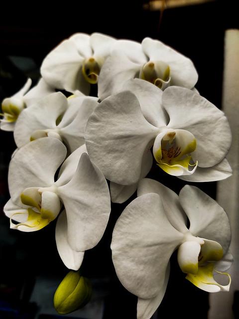 Phaleonopsis sp.