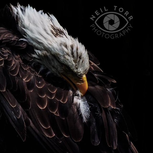 Raptor Photography Day 452 copy