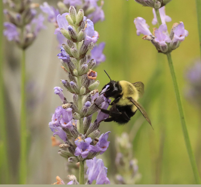 2021-MFDG471-Dig Bee on Levander blossom - Copy