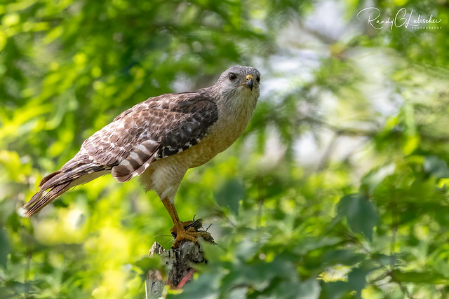 Red-shouldered Hawk | Buteo lineatus | 2021 - 13