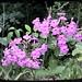 Summer Perennial Phlox
