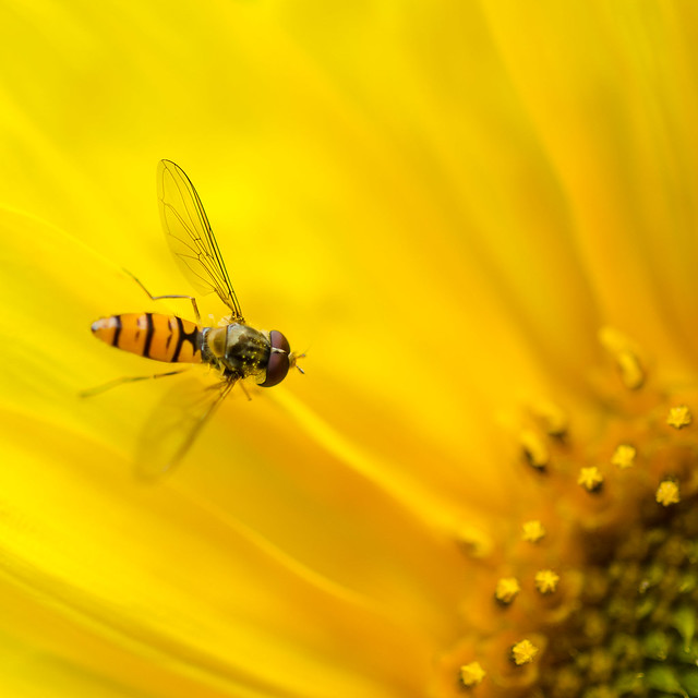 Hover fly on sunflower