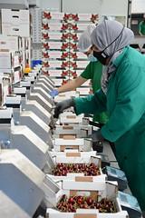 Selección de cereza