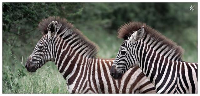 Irokese Zebras