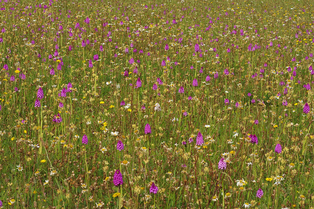 How many! Pyramidal's at Plunford Meadow
