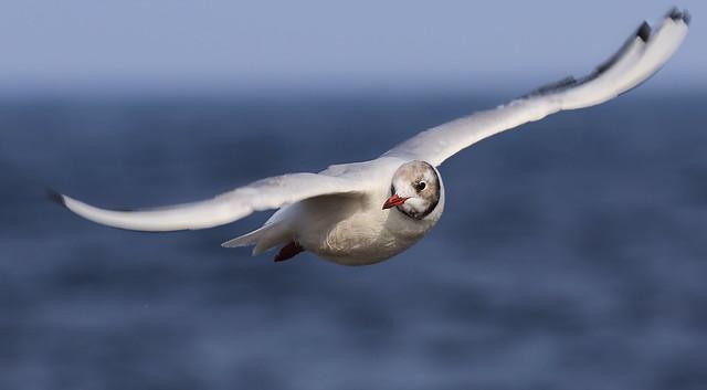 Non breeding Black Headed Gull