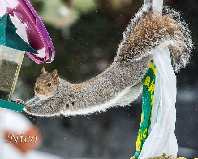 Animal squirrel Oh darn, they caught me in the bird feeder again!  DSC_1287 Oh putain, ils m'ont encore attrapé dans la mangeoire à oiseaux !