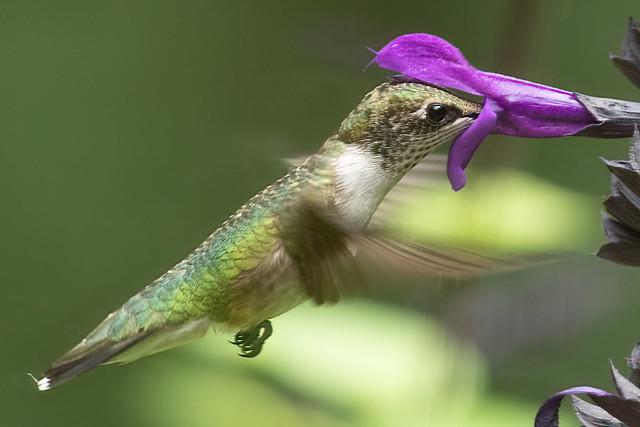 Ruby Female throated Hummingbird feeding on purple salvia