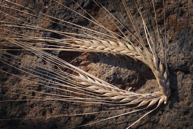 Barley eye DSC_0065
