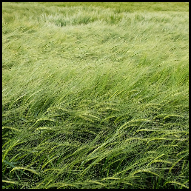 barley in the wind...
